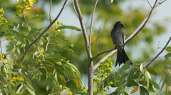 Black drongo cleaning its wings Stock Footage