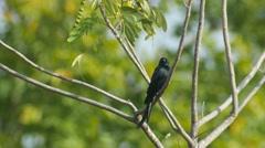 Black drongo turning around on the tree branch Stock Footage