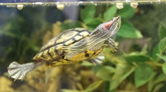 Red-eared sliders stuck her head out of the water. Turtle in natural habitat Stock Footage