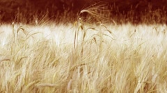 Wheat stalks on wind Stock Footage