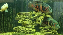 Astronotus ocellatus in aquarium Stock Footage