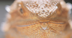 Bearded Dragon Eating a Worm Stock Footage
