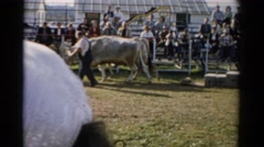 1957: oxen pull a sled loaded with bricks along a measured distance. CATSKILL Stock Footage