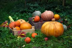 Many orange pumpkins lie on the grass, preparation for the autumn holidays Stock Photos