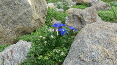 Gentian plants in european alps at grossglockner mountain area. Austria Stock Footage