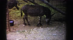 1957: donkeys at zoo eating behind enclosure fence CATSKILL, NEW YORK Stock Footage