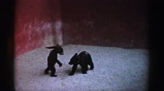 1957: two baby bears playing together. CATSKILL, NEW YORK Stock Footage