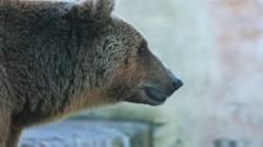 Brown bear (Ursus arctos) Stock Footage