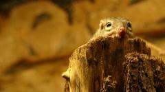 Northern treeshrew (Tupaia belangeri) Stock Footage