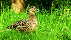 Mallard in green grass (Anas platyrhynchos) Stock Footage