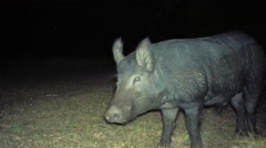 Wild Boar Male Stock Footage
