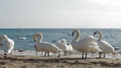 Swans on the coast Stock Footage