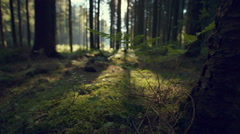 Forest of Spruce Trees Illuminated by Sunbeam, Moss Covered Forest Floor Stock Footage