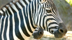 Zebras are several species of African equids (horse family) with distinctive  Stock Footage