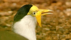 Masked lapwing (Vanellus miles) Stock Footage