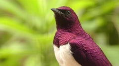 Violet-backed starling Stock Footage