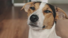 Dog looks at the camera and blinks slowly. Stock Footage