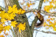 Cute little squirrel on an maple tree Stock Photos