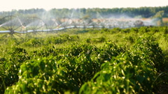Irrigation of pepper field in the summer. Stock Footage