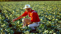 The farmer checking plants in the field of cauliflower during irrigation. Stock Footage