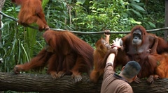 Zookeeper at Singapore Zoo giving water to the orangutans by hand Stock Footage