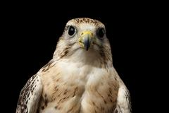 Close-up Saker Falcon, Falco cherrug, isolated on Black background Stock Photos