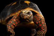 Close-up of Red-footed tortoises, Chelonoidis carbonaria, Isolated black Stock Photos