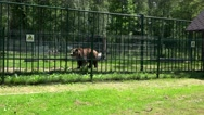 Poor animal brown bear Ursus arctos walking in zoo cage on hot summer day Stock Footage