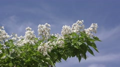 Catalpa bloom in the summer Stock Footage