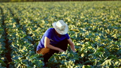 The young farmer checking plants in the field of cauliflower during irrigation. Stock Footage