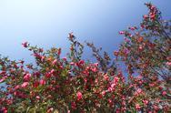Christmas Camellia Stock Photos