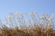 Japanese silver grass Stock Photos