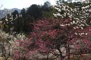 Plum blossoms Stock Photos