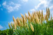 Pampas Grass Stock Photos