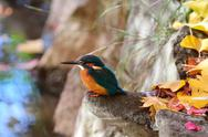 Common Kingfisher Stock Photos