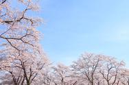 Cherry blossoms Stock Photos