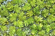 Kariba Weed Stock Photos