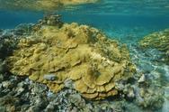 Rice coral Montipora underwater Pacific ocean Stock Photos