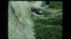 1963: a mother dog is talking and barking at the camera while her puppies run Stock Footage