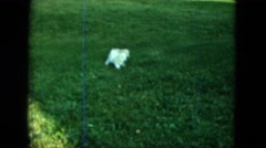 1963: a young golden retriever type dogs playing in a garden whilst others watch Stock Footage
