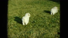 1963: a sunny day playing croquet with the dogs in the backyard MAINE Stock Footage