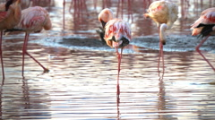 Close up of three flamingos preening at lake bogoria in kenya Stock Footage