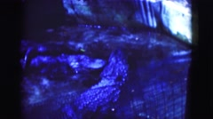 1950: three adult alligators resting in an enclosure during a heavy rain FLORIDA Stock Footage