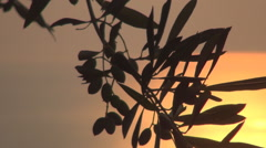 Close View with Olives and Olive Leafs in Red Sunset Light Mediterranean Island. Stock Footage