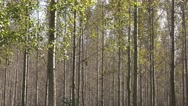 Tall autumn trees in deciduous forest with sunlight Stock Footage