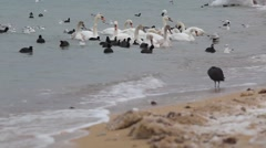 The swans, gulls and ducks in winter Stock Footage