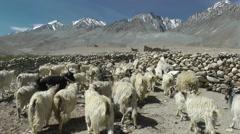 Pashmina goat livestock walking in mountains,Pangong,Ladakh,India Stock Footage