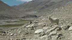 Bleatng pashmina goat in mountains,Pangong,Ladakh,India Stock Footage
