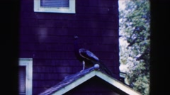 1961: big bird staying and looking staying on the roof on the house and staring Stock Footage