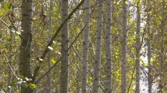 Tall autumn trees in deciduous forest with sunlight beaming Stock Footage